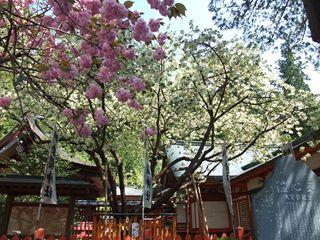 金桜神社のウコン桜