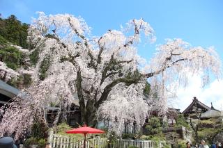 この桜の木の下にアマツドンジョンが!?